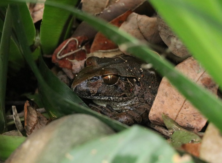 Endangered species photo of the giant barred frog from Australia